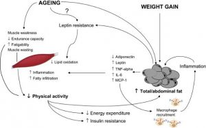 sarcopenie-obesitate-batranete
